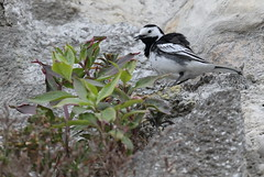 Pied Wagtail 3 20160507 (Steve TB) Tags: cliff bird canon piedwagtail broadstairs eos7dmarkii