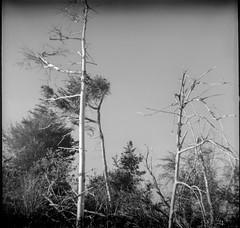 spruce forms, trunks, branches, near Little White Head, Monhegan, Maine, Bencini Koroll S, Fomapan 200, R5 Monobath Devveloper, 5.18.16 (steve aimone) Tags: blackandwhite 120 film mediumformat landscape dead bare branches maine spruce monhegan monheganisland fomapan200 sprucetrees 6xx6 littlewhitehead bencinikorolls r5monobathdeveloper