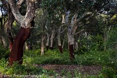 Nudit (84billy) Tags: alberi italia lazio bosco tuscia sughero sughereta