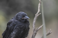 Juvenile raven with characteristic blue eyes (YuccaYellow) Tags: california wild bird nature crow northern raven