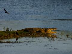 Basking Croc #1 (lostforideas) Tags: danger nationalpark waiting crocodile yala basking