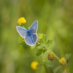 Carr vert pour argus bleu (Mariette80) Tags: papillon isre argusbleu