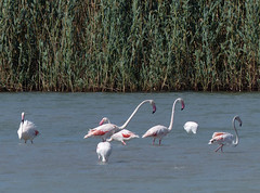 Flamenco (Andy WXx2009) Tags: sea seascape nature water birds landscape coast seaside spain flora europe mediterranean wildlife salt flamingos resort espana coastline creature marmenor seabirds costablanca