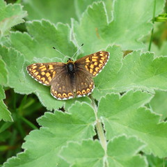 Duke of Burgundy (crs17) Tags: butterfly insect burgundy duke