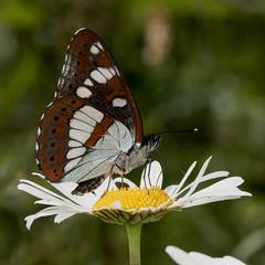 Limenitis reducta (Sinkha63) Tags: france macro nature animal butterfly wildlife lepidoptera papillon daisy marguerite fra corrze limousin beynat oxeyedaisy leucanthemumvulgare limenitis nymphalidae southernwhiteadmiral limenitidinae limenitisreducta limenitidini sylvainazur azuritisreducta azuritis
