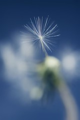 Dandelion on Blue (dedalus11) Tags: lighting flowers blue summer bw plants naturaleza white abstract blur macro art nature closeup garden stars spring weeds weed flora soft seasons close bokeh shots natur pflanzen dream natuur blumen blurred natura images dandelion sw dreamy macros closeups makro nahaufnahme dandelions springtime closer frhling blten taraxacum frhlingsblumen lwenzahn pusteblume dentdelion pusteblumen  closeshots makroaufnahmen nahaufnahmen naturaufnahmen  mniszeklekarski naturalezza makrobilder taraxanum hundeblumen 2dentdelion mackros pusteblumensoft dentdulions