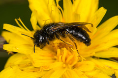 Solitary Bee (Panurgus banksianus) (The LakeSide) Tags: macro insect nikon sigma bee solitary 105mm r1c1 d7100 panurgus banksianus
