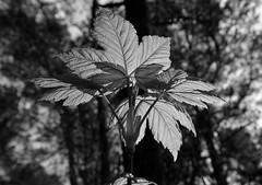 junger Ahorn (Lichtabfall) Tags: blackandwhite tree monochrome leaves forest blackwhite spring maple schwarzweiss wald bltter baum frhling buchholz ahorn einfarbig buchholzidn meilsen