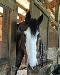 Hello beautiful (Becka) Tags: horse ursula americanwarmblood