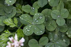 2016-06-23 I'm lookin' over a 4-leaf clover! (Mary Wardell) Tags: green wet canon lucky clover waterdroplets 4leafclover 60d