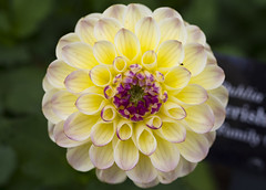 Cherish Dahlia (s.d.sea) Tags: pink dahlia flowers summer plants white plant chicago flower nature floral yellow gardens 35mm garden botanical outdoors illinois spring midwest pentax symmetry northshore bloom glencoe botanic cherish enjoyillinois k5iis