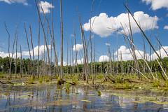 Dead Tamarack Swamp (Brett Whaley) Tags: minnesota july swamp tamarack 2016 larixlaricina uncasdunessna