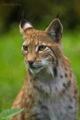 Luchs (AchimSchmidt) Tags: katze wildpark luchs tambach