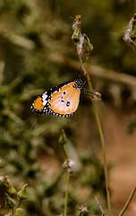 Danaus chrysippus (Lil d'un Naturaliste) Tags: algeria saad algrie sidi danaus chrysippus laghouat gueltat