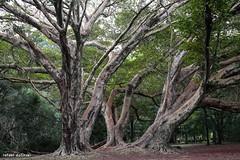Parque Ibirapuera (Rafael Dolinski) Tags: park parque wild tree brasil forest canon landscape 50mm woods br sopaulo ibirapuera rafael rvore 6d paqrque dolinski