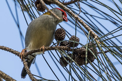 Red-Browed Finch And She-Oak (gecko47) Tags: bird feeding finch seedpods casuarina sheoak firetail redbrowedfinch neochmiatemporalis seedeater minnippiwetlands