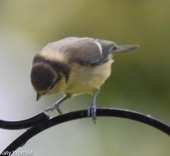 Bouncing baby (Katy Wrathall) Tags: 2016 bluetit eastriding eastyorkshire england june summer baby birds feeders garden 30dayswild