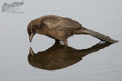 Juvenile Grackle Reflections 16_21 (krisinct- Thanks for 12 Million views!) Tags: nikon 300 f4 afs d500