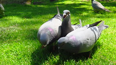 FeedingTriplets (lambjir) Tags: birds pigeon feeding actionshot nut