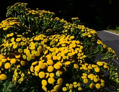 (:Linda:) Tags: germany village thuringia tansy brden wildflowerbouquet
