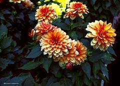 2080 Flores (Ricard Gabarrs) Tags: naturaleza flores planta plantas flor jardin olympus botanica ricgaba ricardgabarrus