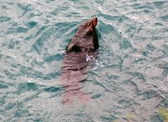 New Zealand fur seal Sumner Beach NZ (mpp26) Tags: newzealand swimming fur feeding seal furseal sumnerbeach
