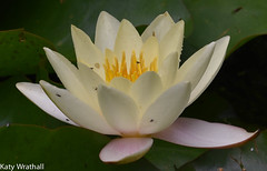 Waterlily (Katy Wrathall) Tags: 2016 eastriding eastyorkshire england july summer garden