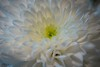 Heart of gold (Anthony P26) Tags: england white macro texture yellow canon gold petals flora focus soft pattern dof heart shapes bedfordshire places depthoffield fragile category chrysanthemum luton frail narrowdepthoffield narrowdof focusing sigma105mmmacro macrodreams canon70d