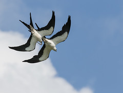 Swallow-Tailed Kites With Frog (ruthpphoto) Tags: kite swallowtailedkite bird
