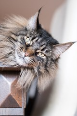Hi, I`m Merlin (camerue) Tags: cat mainecoon merlin color pet ainmal depthoffield