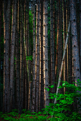 Strong Together (Bobby Palosaari) Tags: tree green nature vertical pine forest outdoors togetherness woods growth mature trunk tall