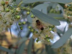 Bee in eucalyptus (EllenJo) Tags: pentaxqs1 pentax july 2016 ellenjoroberts ellenjo eucalyptus bees blooming yard home