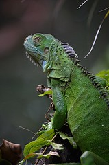 Iguana has turned and is watching my pond (jungle mama) Tags: iguana green tropicallizard eardrum subtympanicshield parietaleye scale thirdeye dewlap lizard prehistoric