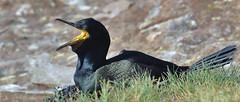 KEEPING COOL By Angela Wilson (angelawilson2222) Tags: shag seabird farne islands rspb northumberland nesting cooling cliffs sea black nature wild wildlife breeding