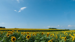 (Hill of Sunflower)(Sanbongi Osaki-shi Miyagi Prefecture)August 4, 2016 (narukospa) Tags: 2016 japan flower summer blue yellow