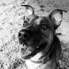 Quadress13Aug1600153-Edit.jpg (fredstrobel) Tags: dogs pawsatanta phototype atlanta blackandwhite usa animals ga pets places pawsdogs decatur georgia unitedstates us