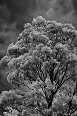 Eucalypts in infrared (i-lenticularis) Tags: ricohgxrir summaritm90f25 home infraredbw eucalyptus gumtree
