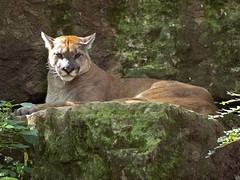 Nashville Zoo 08-27-2014 - Cougar 15 (David441491) Tags: zoo nashville puma cougar mountainlion