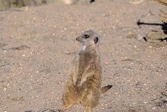 Meerkat (wiccan_two) Tags: park wild nature animals meerkat wildlife reserve tilgate meerkats