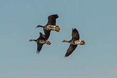 Specks (JuneBugGemplr) Tags: geese idaho specklebelly fortboisewma