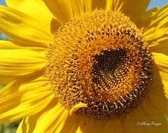 Sunflower_01 (sh10453) Tags: trees usa nature outdoors michigan fallcolors wildlife annarbor parks autumncolors sunflowers planetearth clours naturephotos beautifulearth recreationalareas