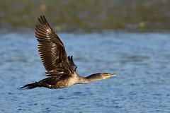 IMG-20150420-0083 (marekeos) Tags: coyote birds animals wildlife birdsofprey bif birdinflight
