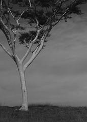 Tree (6378) (Jorge Belim) Tags: flora pb árvore 70200 canoneos7d
