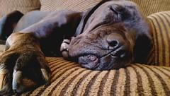 Let sleeping dogs lie (msknoogle) Tags: pets dogs animals photography mutt mastiff naturallight paws animalplanet sleepingbeauty jowls cuteanimals spiritanimal sleepinganimals