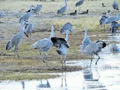 Dustup (Patricia Henschen) Tags: bird birds sanluisvalley sandhillcrane montevistanationalwildliferefuge montevistacolorado