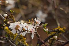 Flowers and Lichen (oandrews) Tags: flowers england white flower nature petals spring unitedkingdom kingston lichen signsofspring