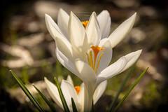 Tender white (MR-Fotografie) Tags: flowers white flower spring nikon nikkor blume tender frühling zart weis 18105mm d7100 mrfotografie