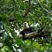 Macaco-prego-de-cara-branca