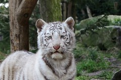 Bb tigre blanc (Passion Animaux & Photos) Tags: white zoo cub tiger bebe blanc tigre amneville bengale