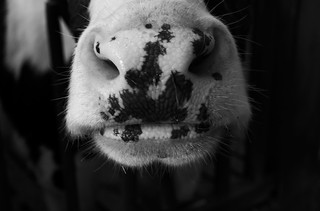 a cow's nose in black and white